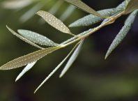 Zeytin Yaprağı Çayı Yapımı